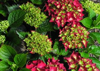 Hydrangea macrophylla 'Royal Red' dieprode bloemen