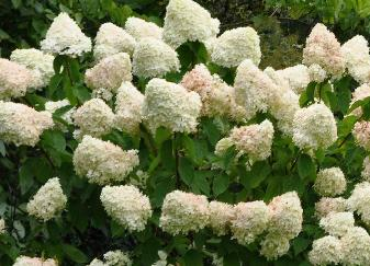 Hydrangea paniculata 'Limelight'in border