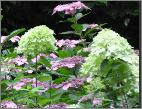 hydrangea pan limelight in border jan sterken