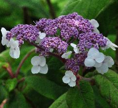 Hydrangea arborescens 'Pink Annabelle'  syn. 'Invincibelle'