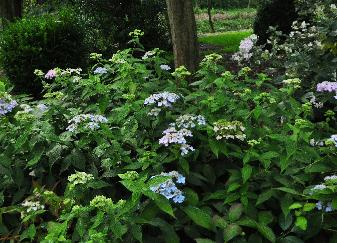 Hydrangea serrata 'Diadem' 15sept global view
