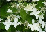 Pluimhortensia 'Magical Starlight' = Degustar of Degudo
