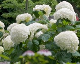 Hydrangea arborescens 'Incrediball' syn 'Strong Annabelle'